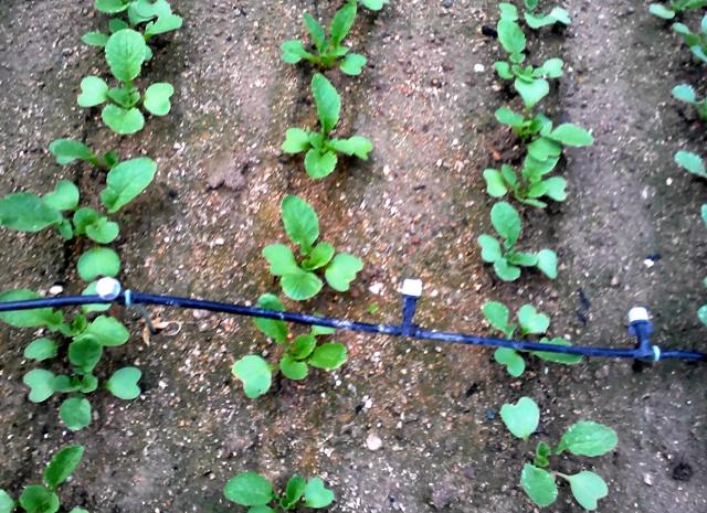 『 20日大根(ラディッシュ)をプランターや水耕栽培で育てる日記 』 ..本葉も少し大きくなり二十日大根らしくなってきました。..