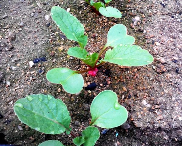 『 20日大根(ラディッシュ)をプランターや水耕栽培で育てる日記 』 ..よく見る二十日大根そのものが顔を出しています。また、「葉水」も見受けられますね。しっかり根っこから養分を吸収しているようです。..