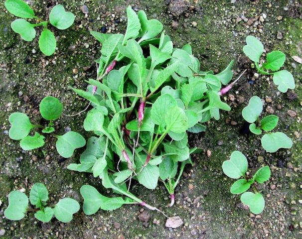 『 20日大根(ラディッシュ)をプランターや水耕栽培で育てる日記 』 ..間引きしました(3/24)春が足踏みって感じの24日ですが、二十日大根を間引きました。..