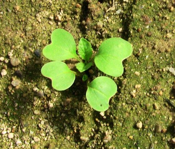 『 20日大根(ラディッシュ)をプランターや水耕栽培で育てる日記 』 ..二十日大根の種蒔をしてから19日目、ようやく本葉が出てきました。..