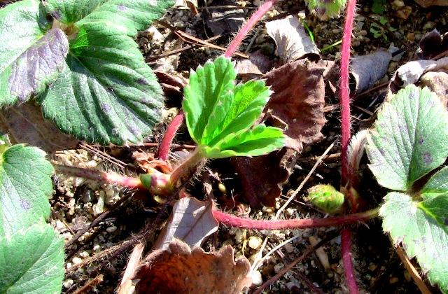 『 【甘い苺の育て方】いちごをプランターで栽培してみた 』 ..でも、よく見たら春に備えて新芽らしきものが…..