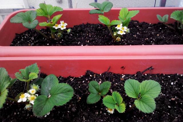 『 【甘い苺の育て方】いちごをプランターで栽培してみた 』 ..陽気に誘われ続々開花しました(3/30)3/30日のいちご達です。..