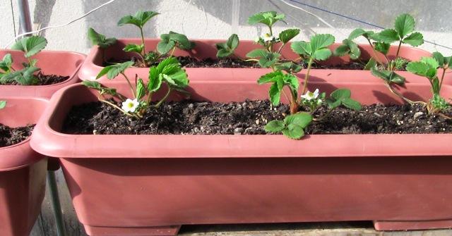 『 【甘い苺の育て方】いちごをプランターで栽培してみた 』 ..蕾も膨らんで花も咲き始めました。そこで、筆を使い人工授粉をしてみましたが結果は?..