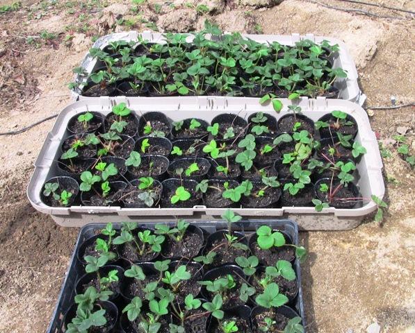 『 【甘い苺の育て方】いちごをプランターで栽培してみた 』 ..そうして作った苗をポットに移植したのがこれです。..