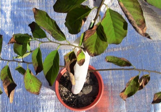 『 釈迦頭(シャカトウ-バンレイシ)栽培-種から育てる記録 』 ..さて、カズんちのバンレイシも何とか低温にも耐えて生きぬいてくれたようです。..