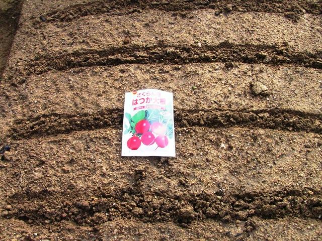 『 20日大根(ラディッシュ)をプランターや水耕栽培で育てる日記 』 ..二十日大根の種蒔は説明書に従って、約15センチ幅で2粒ずつ撒きました。判りやすいように3月1日の種蒔です。..