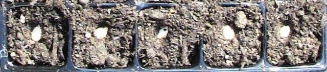 『 始めてズッキーニを種から栽培してみました 』 ..次に大きめに移植しようと思います。培養土をポットにいれ、種を指で押し込みます。..
