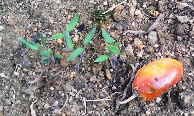 『 【アイコの栽培】ミニ トマト『アイコ』を種から育てる記録 』 について、種から育てた記録を書き記しています。..何を植えようか?と思ってよく見ると……何とアイコが芽を出していました!..