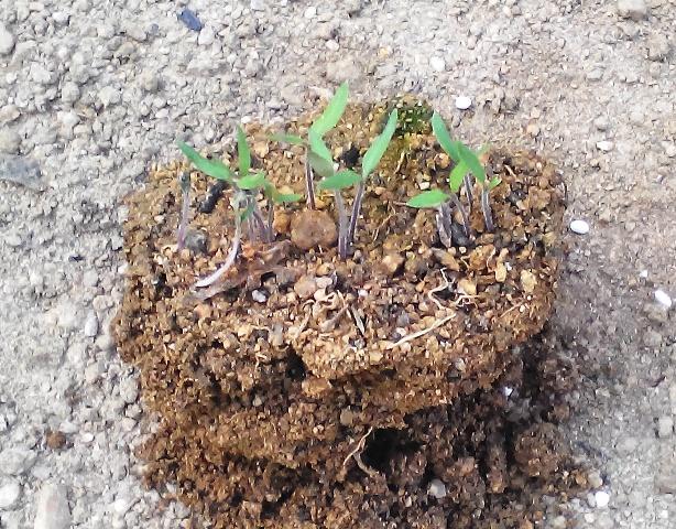 『 ミニ トマト『アイコ』を種から栽培する記録Part2 』 ..ミニトマト『アイコ』の移植(4/18)自然に発芽したアイコの根を傷めないよう、周りを大きく取りながら苗を取り出します。..