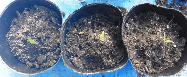 『 ミニ トマト『アイコ』を種から栽培する記録Part2 』 ..培養土を根の部分に少し置いて、苗を立てます。このとき、培養土ごと軽くつかんで立てるといいようです。..