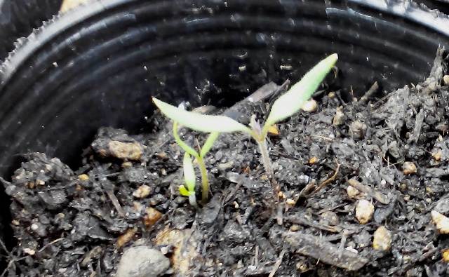 『 ミニ トマト『アイコ』を種から栽培する記録Part2 』 ..ようやく発芽したようです。..