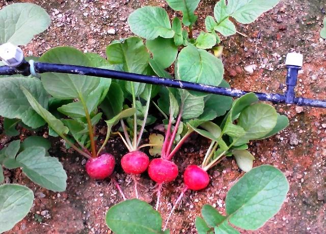 『 20日大根(ラディッシュ)をプランターや水耕栽培で育てる日記 』 ..20日大根の初収穫から4日後、ようやく食べ頃となりました。..