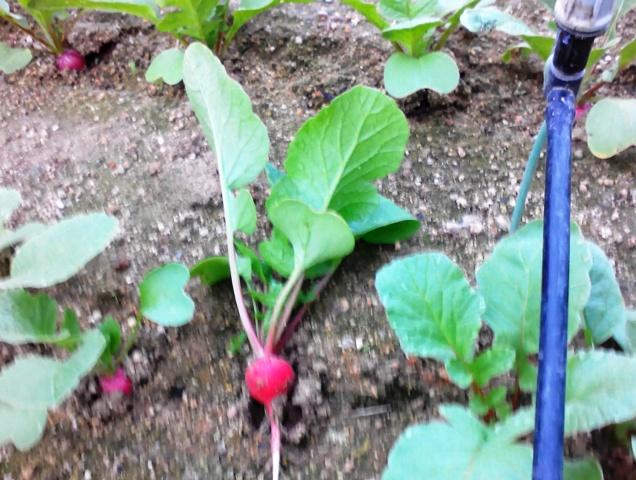 『 20日大根(ラディッシュ)をプランターや水耕栽培で育てる日記 』 ..その中で「大きな顔」を選んでみます。..