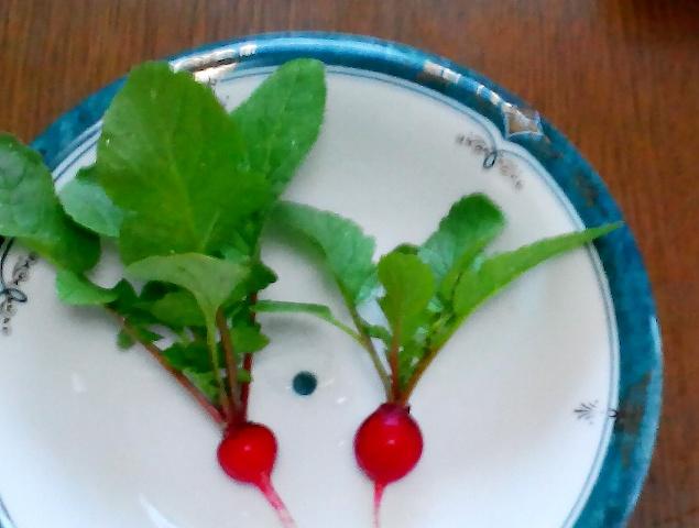 『 20日大根(ラディッシュ)をプランターや水耕栽培で育てる日記 』 ..やや、小ぶりでした。でも、初収穫!..
