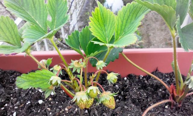 『 【甘い苺の育て方】いちごをプランターで栽培してみた 』 ..いちごが色づき始めました(4/23)プランター栽培のいちごが色づき始めました。..