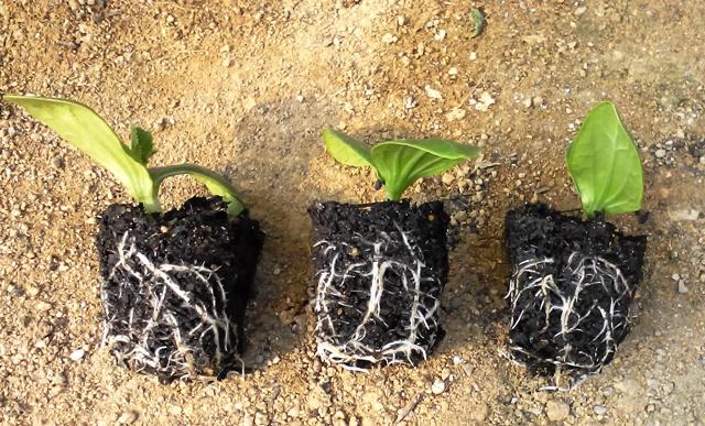 『 始めてズッキーニを種から栽培してみました 』 ..根の張り具合は?(4/07)どんなかな~?ということで根っこを見てみます。..