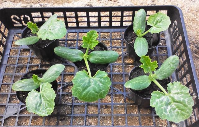『 始めてズッキーニを種から栽培してみました 』 ..ズッキーニの定植結構成長したかな?と思うけどどーなんだろ?..