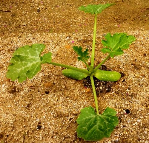 『 始めてズッキーニを種から栽培してみました 』 ..ズッキーニの葉が一枚増えて4枚になりました。..