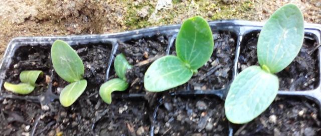 『 始めてズッキーニを種から栽培してみました 』 ..ズッキーニは大きくなるそうですので種は5個だけ蒔きましたが、5個全部発芽しました。..