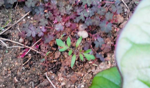 『 ミニ トマト『アイコ』を種から栽培する記録Part2 』 ..そして、こちらにも…..