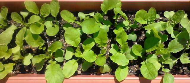 『 20日大根(ラディッシュ)をプランターや水耕栽培で育てる日記 』 ..ここ数日雨でしたが、久々の天気です。..