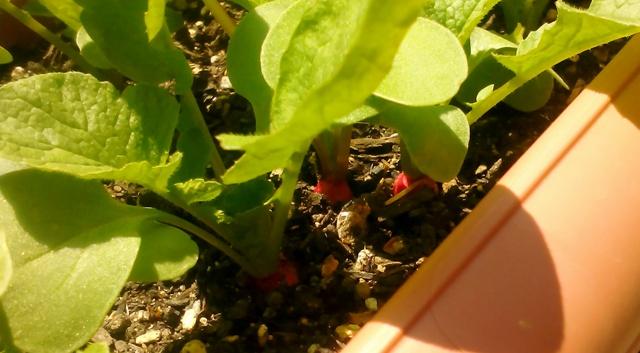 『 20日大根(ラディッシュ)をプランターや水耕栽培で育てる日記 』 ..だいぶん、大きくなりました。よく見ればラディッシュが顔を出しています。..