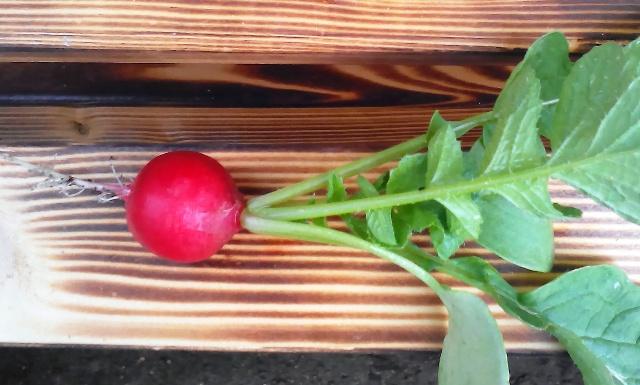 『 20日大根(ラディッシュ)をプランターや水耕栽培で育てる日記 』 ..一番大きそうな20日大根を選んでみました。直径が1.5センチ程あります。..