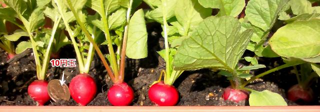 『 20日大根(ラディッシュ)をプランターや水耕栽培で育てる日記 』 ..判りやすいように10円玉を置いてみました。..