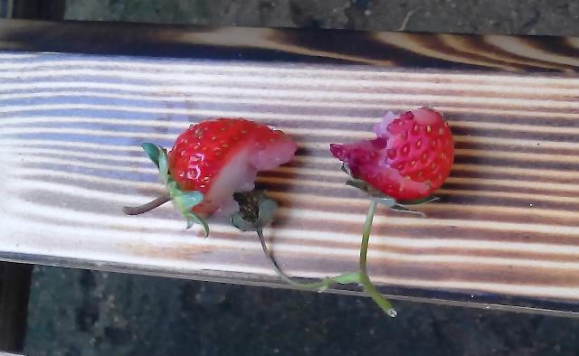 『 【甘い苺の育て方】いちごをプランターで栽培してみた 』 ..かじった跡が山型になっているのでカラスの仕業のようです。..