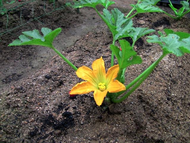 『 始めてズッキーニを種から栽培してみました 』 ..ズッキーニに花が咲きました(5/20)5つ植えたズッキーニの一つに花が咲きました。..