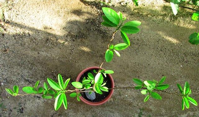 『 釈迦頭(シャカトウ-バンレイシ)栽培-種から育てる記録 』 ..根っこの状態を見ることは出来ませんがシャカトウが少しづつ回復してきました。釈迦頭にとって厳しい冬を乗り切りました。..