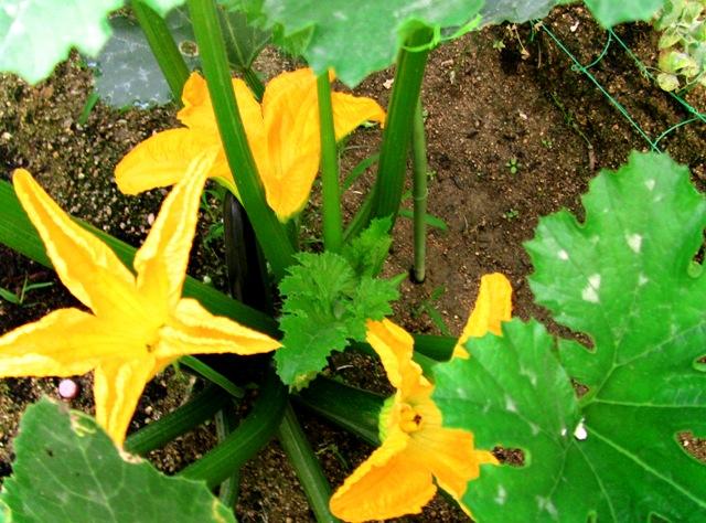 『 始めてズッキーニを種から栽培してみました 』 ..ズッキーニの人工授粉 (6/22)昨日の予測の通りめしべが二つ、おしべが一つ開花しました。..
