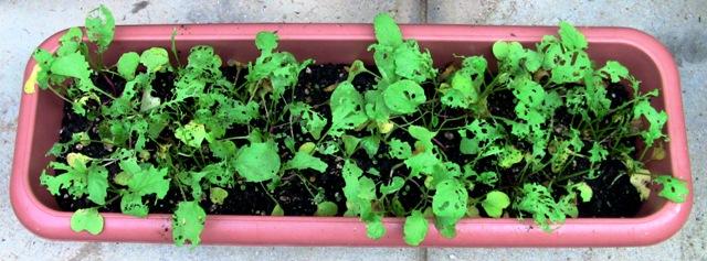 『 20日大根(ラディッシュ)をプランターや水耕栽培で育てる日記 』 ..最近、太陽を見ていないですよね。今回の20日大根は……...