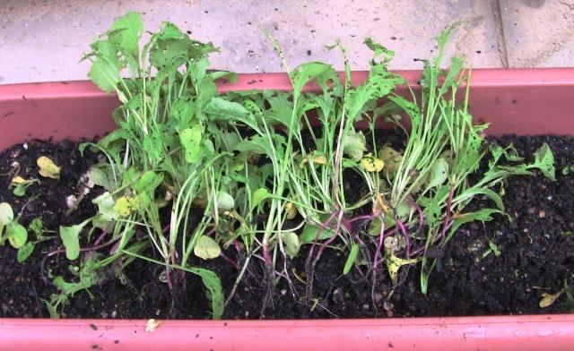 『 20日大根(ラディッシュ)をプランターや水耕栽培で育てる日記 』 ..蝶々が大好きなんですね。根を見ると全く大きくなっていません。..