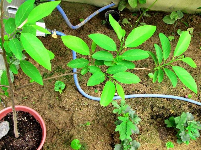 『 釈迦頭(シャカトウ-バンレイシ)栽培-種から育てる記録 』 ..カズんちのバンレイシは窮地を脱出し、成長軌道に乗りました。..