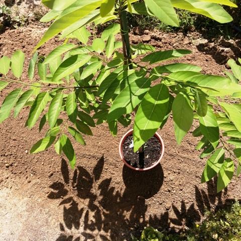 『 釈迦頭(シャカトウ-バンレイシ)栽培-種から育てる記録 』 ..朝夕、めっきり涼しくなってきました。今日は天気がいいので日光浴です。(^^;..