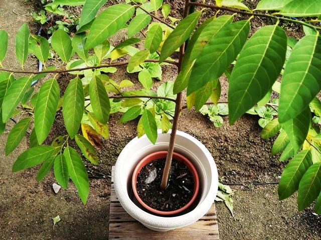 『 釈迦頭(バンレイシ)の育て方~鉢植えで花が咲くまで 』 ..6号鉢と10号鉢を比べてみると…..