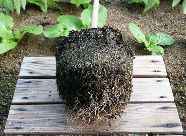 『 釈迦頭(バンレイシ)の育て方~鉢植えで花が咲くまで 』 ..5月の段階では根腐れで殆ど根無しの状態でしたから凄いとしか言いようがありません。そこで来年新しい根が出る様に少し土を落として根をほぐしました。..