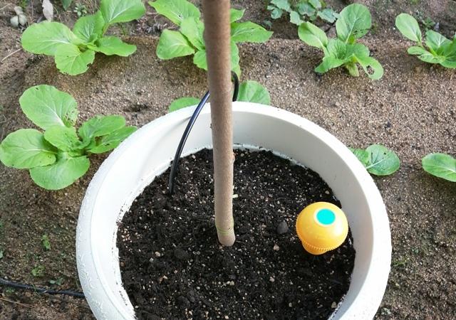『 釈迦頭(バンレイシ)の育て方~鉢植えで花が咲くまで 』 ..底面10cm程新しい培養土を入れ、土壌水分センサと土壌温度センサを置いて周囲を培養土で満たして釈迦頭の植え替え完了です。..