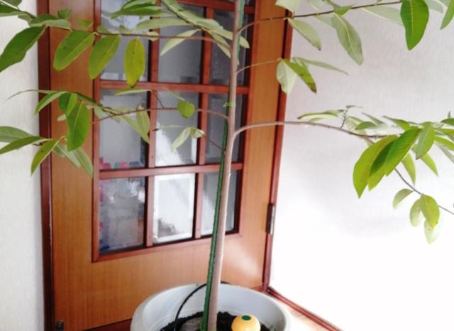 『 釈迦頭(バンレイシ)の育て方~鉢植えで花が咲くまで 』 ..さて、カズんちの釈迦頭クンは今年3歳を迎えるのですが、昨年とは異なり今のところ何とか元気なようです。..
