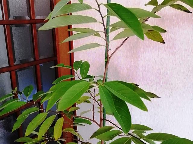 『 釈迦頭(バンレイシ)の育て方~鉢植えで花が咲くまで 』 ..根っこを温めるだけでこんなにも違うのですね。驚きです。でも、…よく見れば寒さの影響も受けています。..