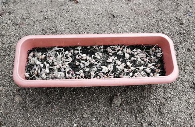 『 あさつき(浅葱)栽培-プランターに植え替えてみた 』 は春と秋に収穫でき、切りとってもすぐに新しい芽が伸びてきます。..あさつきの球根を並べて…というか、球根を置いて..