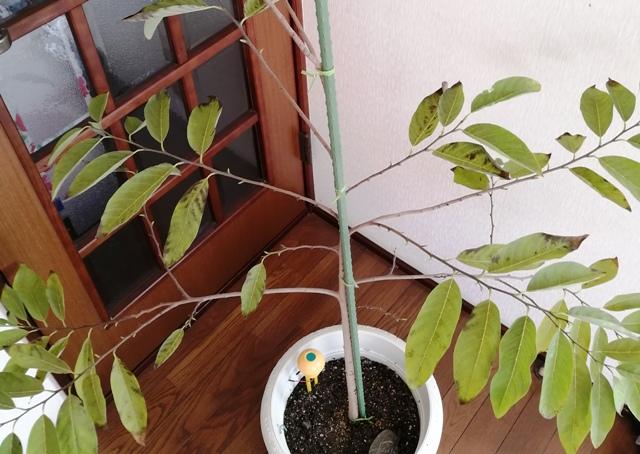『 釈迦頭(バンレイシ)の育て方~鉢植えで花が咲くまで 』 ..大きな声では言えませんね (^^; カズんちの釈迦頭の様子はこんな感じです。..