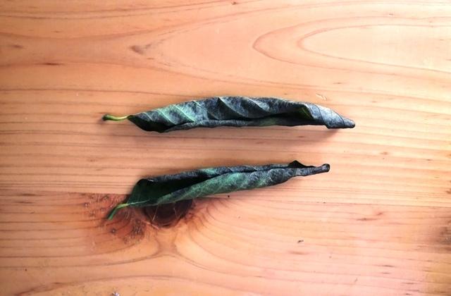 『 釈迦頭(バンレイシ)の育て方~鉢植えで花が咲くまで 』 ..さて、釈迦頭クンも日中は日当たりの良いところに置くのですが、落葉が多くなってきました。..
