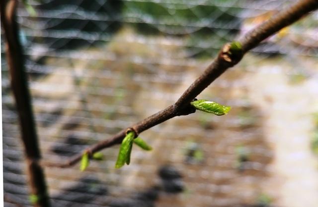 『 釈迦頭(バンレイシ)の育て方~鉢植えで花が咲くまで 』 ..新芽を確認してから2週間経ちました。昨年の4/28日は新芽らしきもの?が確認出来たのですが、今年は立派な新芽です。..