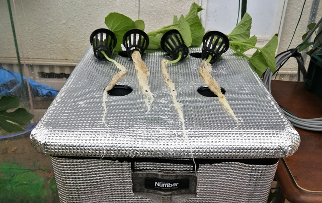 『 メロン栽培は難しい?水耕栽培でメロンを育てる記録 』 ..バークが沢山根に絡んで根毛を痛めてしまいました。自然回復に期待です。..