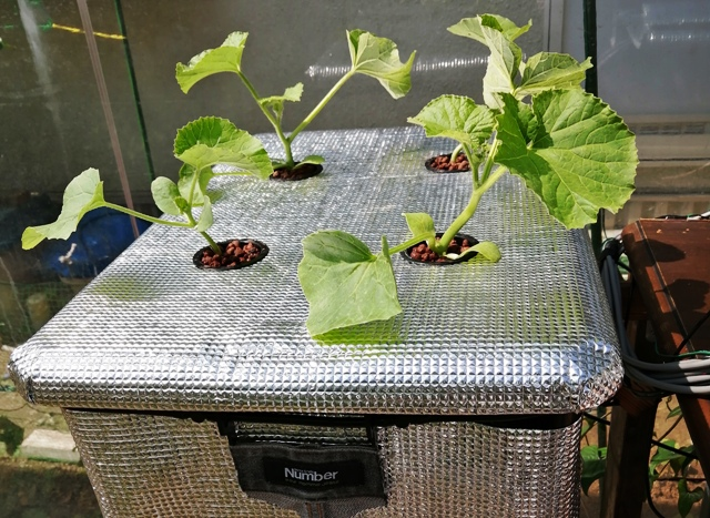 『 メロン栽培は難しい?水耕栽培でメロンを育てる記録 』 ..2020/5/26日に定植しました。こちらも栽培記録をつけていこうと思います。..
