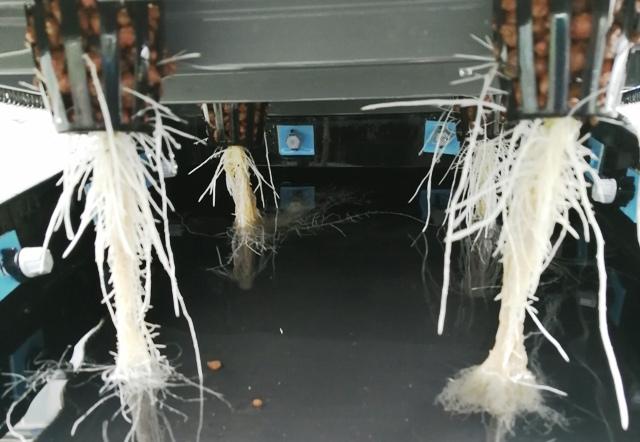 『 メロン栽培は難しい?水耕栽培でメロンを育てる記録 』 ..だから今回はEC濃度に注意しています。根毛は?と覗いて見ると…..