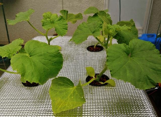 『 メロン栽培は難しい?水耕栽培でメロンを育てる記録 』 ..何とか元気に育っているようです。そしてこちらは水耕栽培のF1メロンです。..