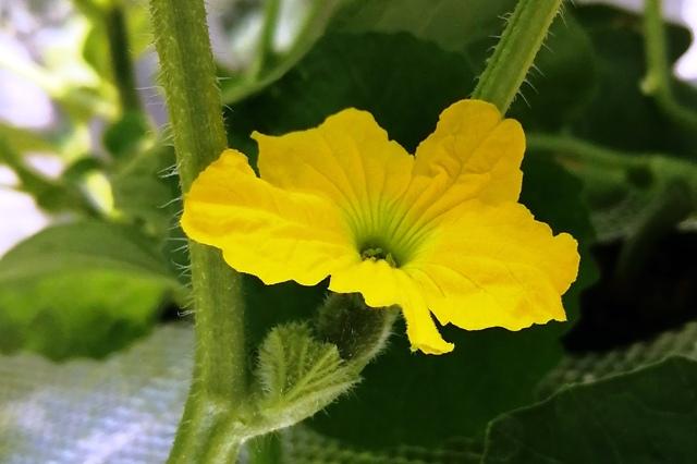 『 メロン栽培は難しい?水耕栽培でメロンを育てる記録 』 ..ちょっと開花しそうな雰囲気ですね。そして2日後に開花しました。..